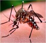 1_Aedes_aegypti_mosquito_eNews