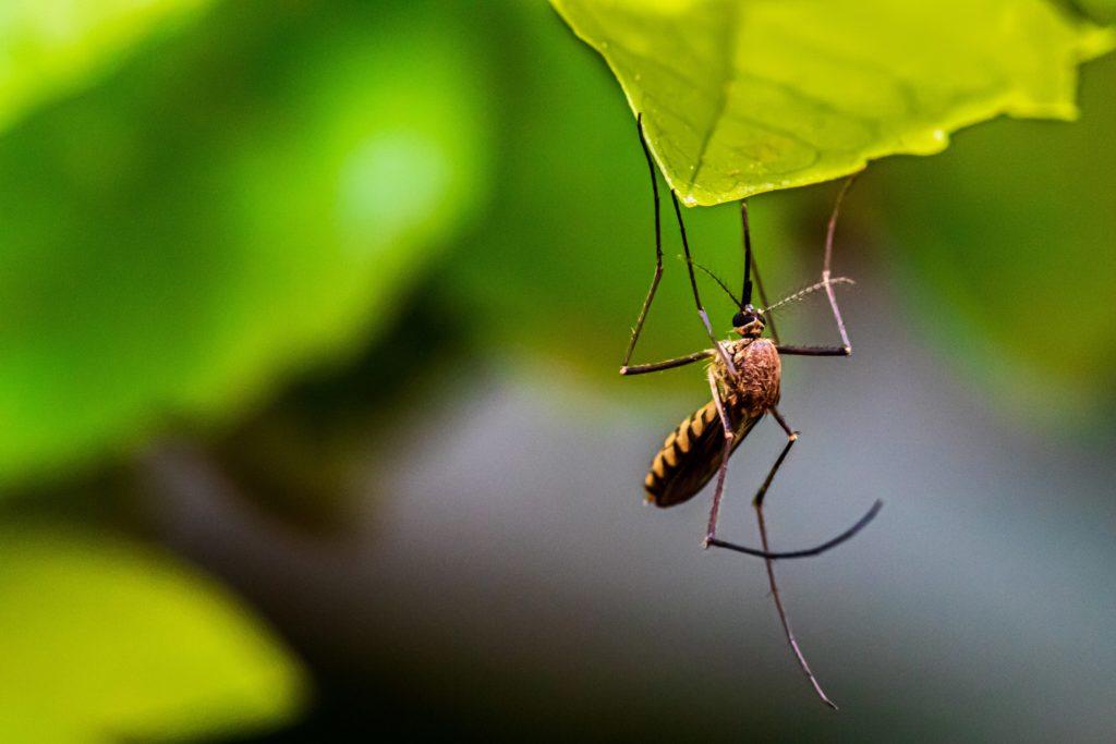 vdci mosquito closeup (3)
